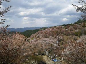 吉野桜下千本